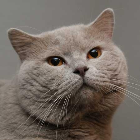 svijetloplava crna maca